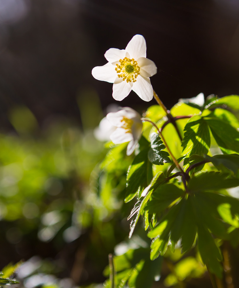 Beautiful white springtime anemones flowers. First springtime flowers blooming in forest.