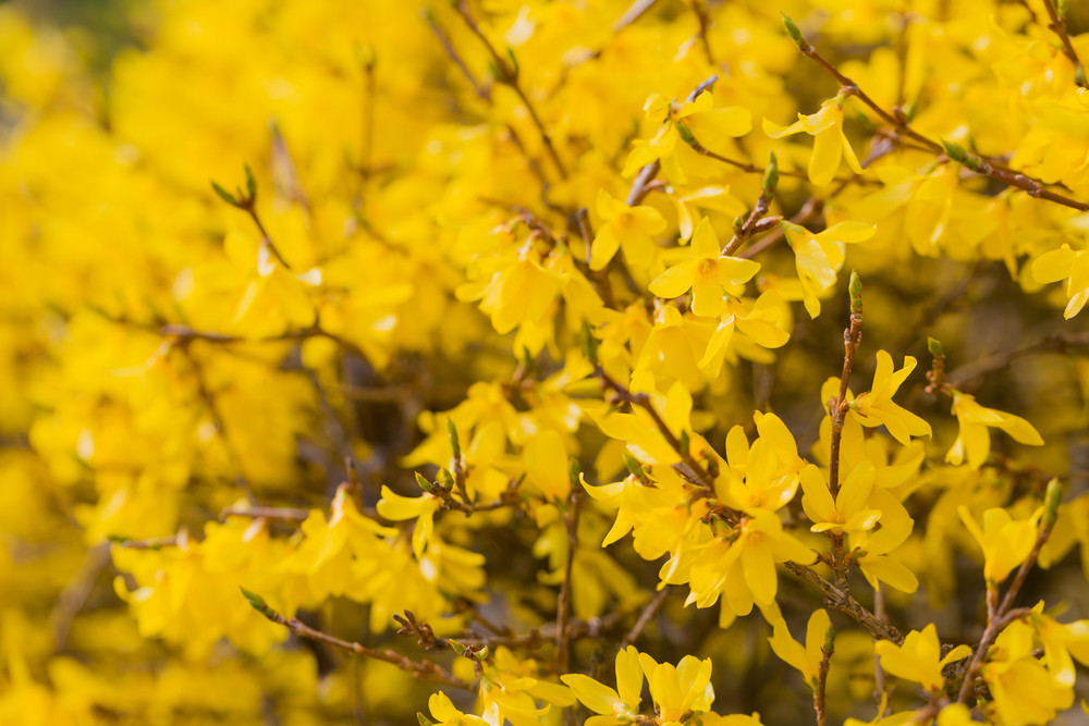 Beautiful blooming forsythia bush. Close up of yellow flowers. Nature closeup