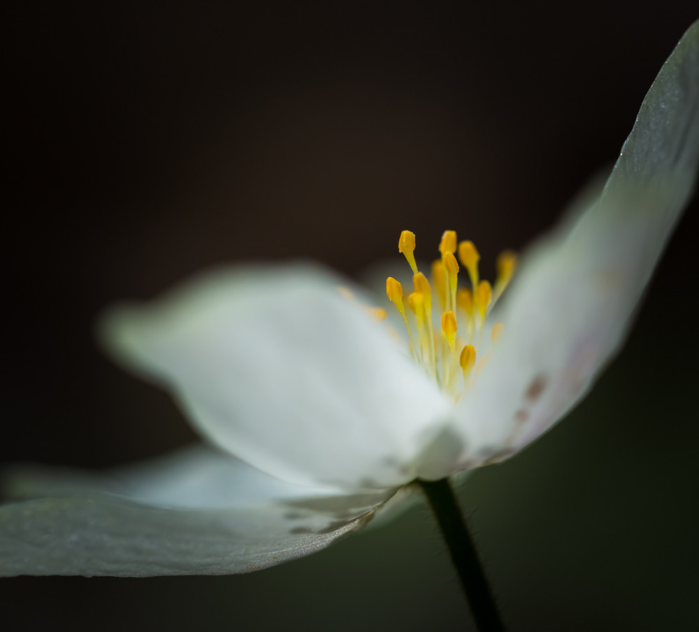 Beautiful White Springtime Anemones In Close Up Early Spring