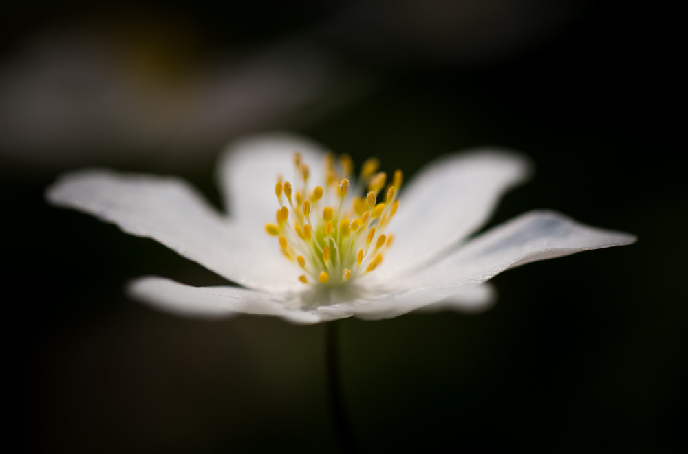 Beautiful white springtime anemones in close up early spring beautiful white springtime anemones in close up early spring flowers mightylinksfo