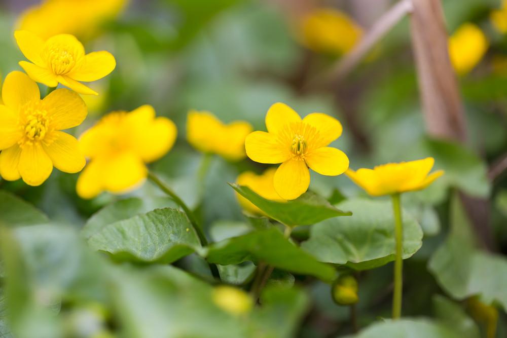 Beautiful Blooming Wild Yellow Marigolds Flowers Plants Growing On