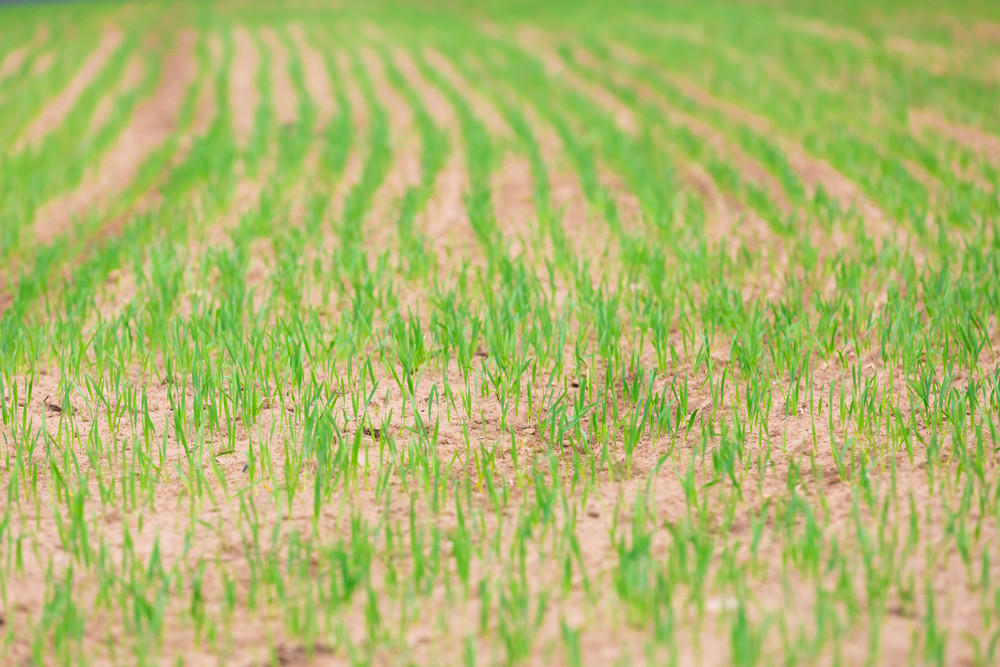 Young spring field with sprouts of corn. Nature close up background.