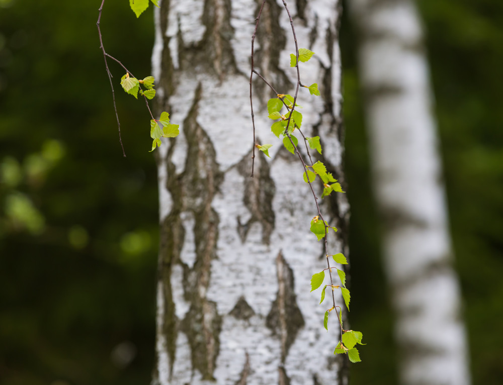 Beautiful young leaves of birch tree on branch. Nature background