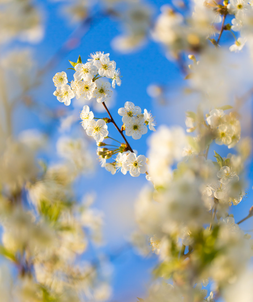 Beautiful Blooming Cherry Tree In Springtime White Flowers On Tree