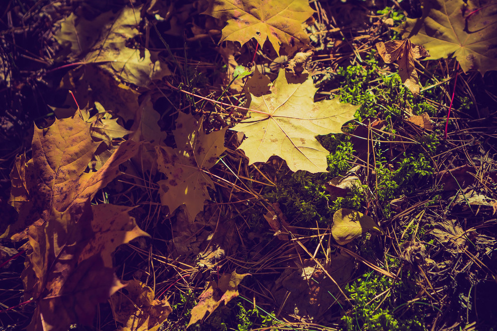 Close up of fallen maple tree leaves on ground. Autumnal leaves on grass.