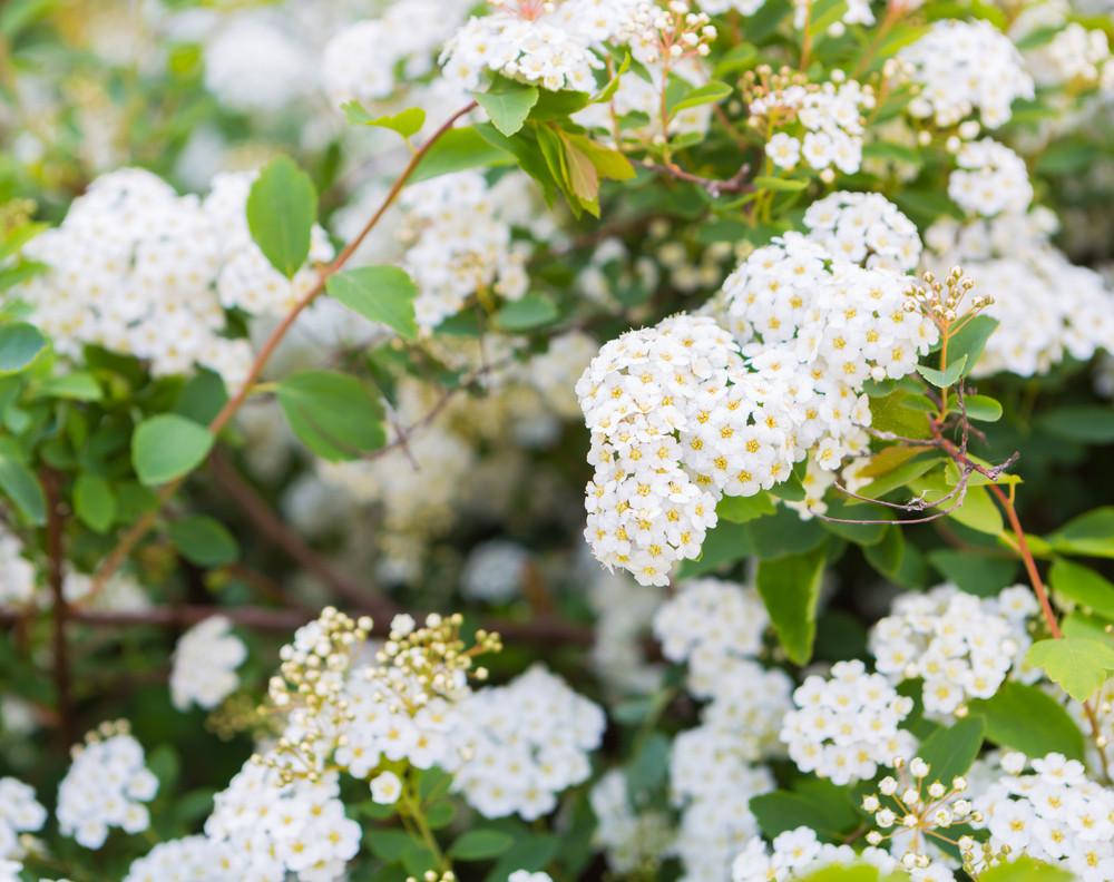 Beautiful Blooming White Flowers Of Spirea White Springtime Flowers