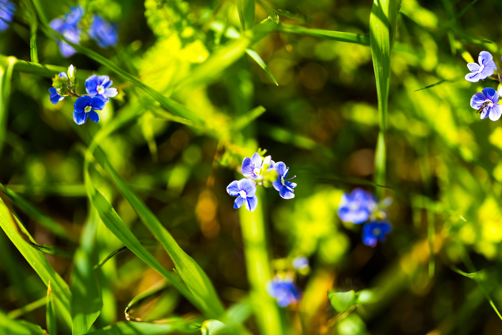 Beautiful wild forget-me-not flowers blooming on meadow. close up of wild flowers