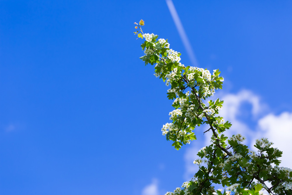 Blooming bush of hawthorn on blue sky. Beautiful white springtime blooming tree