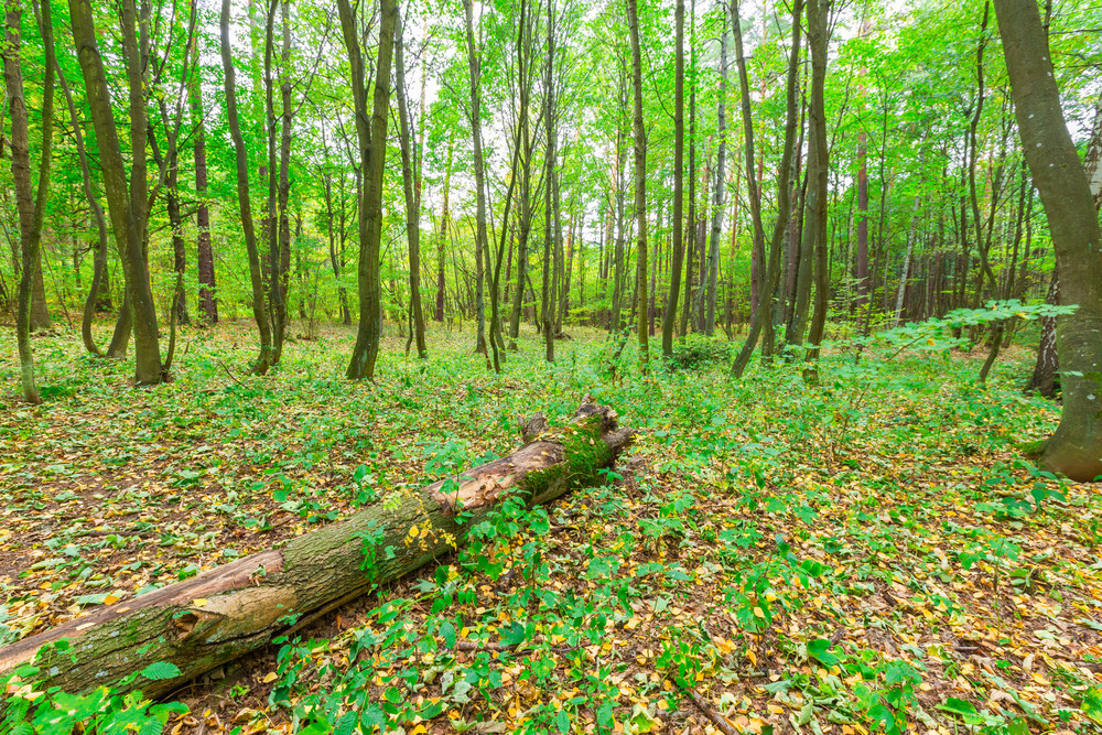 Autumnal forest landscape with many fallen leaves on ground. Beautiful polish forest at autumn.