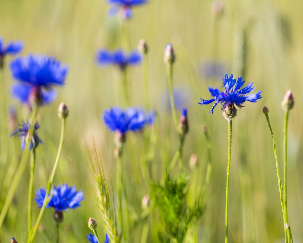 Beautiful Cornflowers Growing On Field Of Rice Beautiful Blue