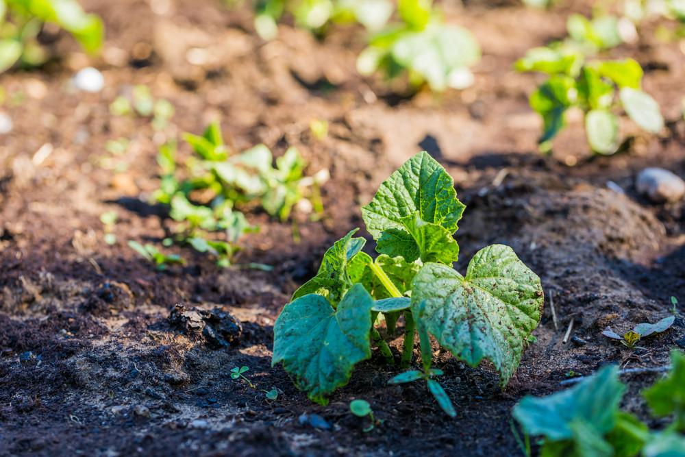 Young cucumber sprouts growing in ecologic garden. Beautiful springtime garden photo.