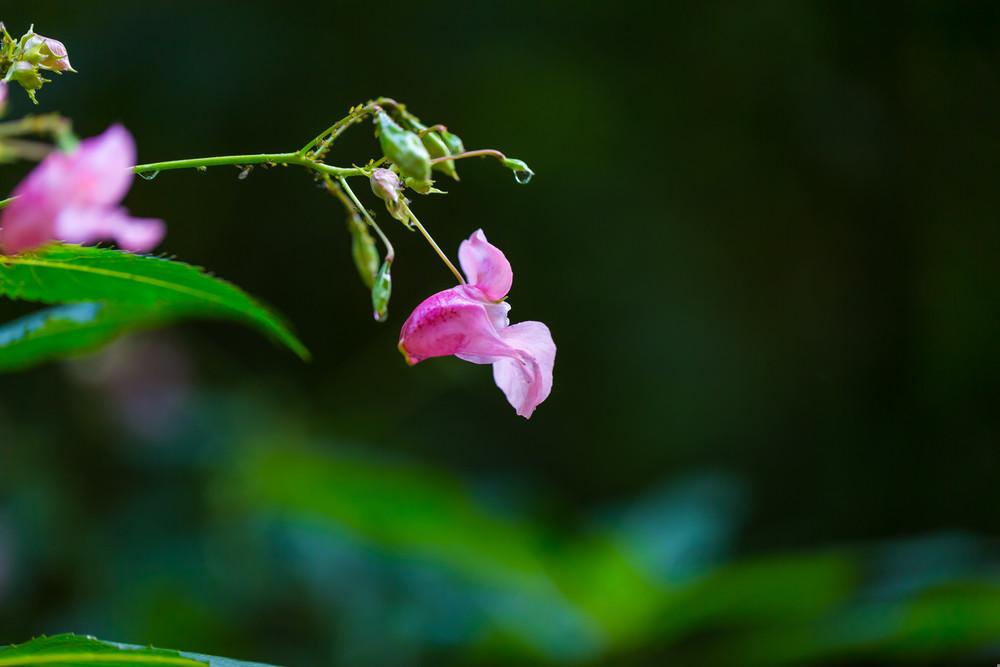 flores cor de rosa selvagens bonitos que crescem na floresta verão.