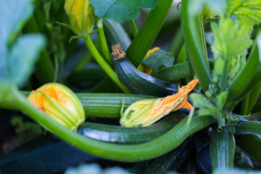 Young courgette growing in ecological garden. Beautiful young edible plants in garden.