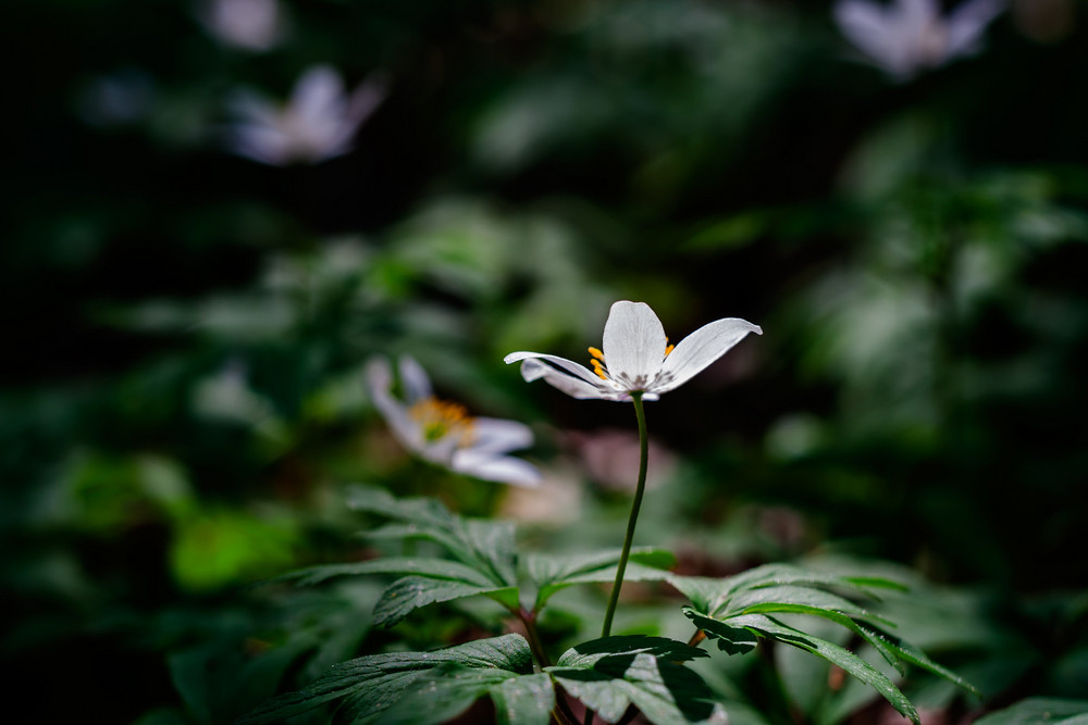 White anemone flowers in springtime forest. Nature background