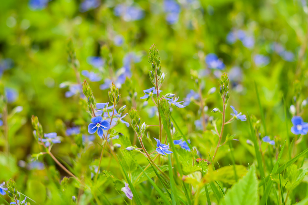 Small blue wild flowers growing in early summer forest royalty free small blue wild flowers growing in early summer forest mightylinksfo