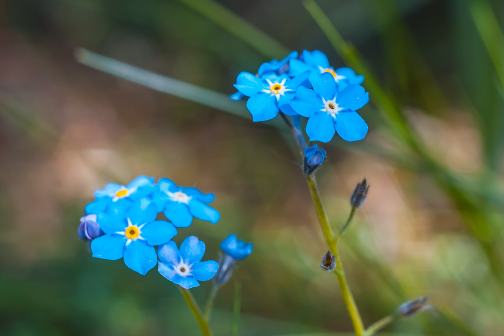 Fresh blue forget-me-not flowers in the garden at springtime