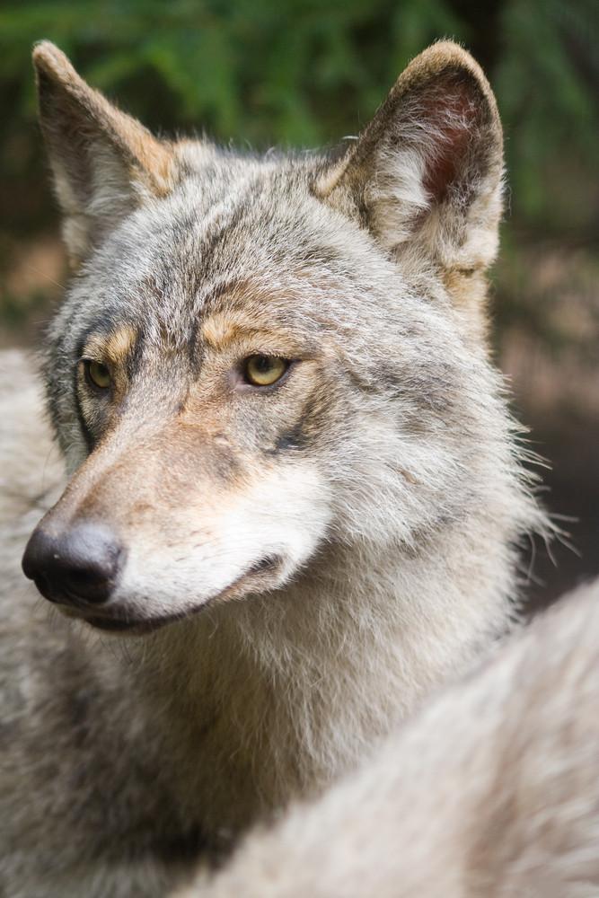 Wolf portrait. Animal landscape