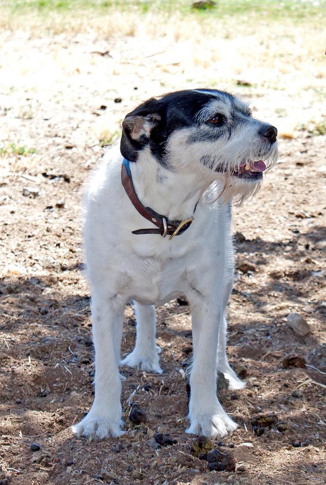 Mix Breed Terrier Pet