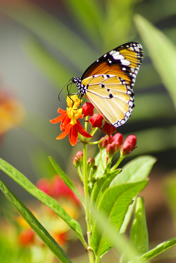 Monarch Butterfly, Milkweed Mania