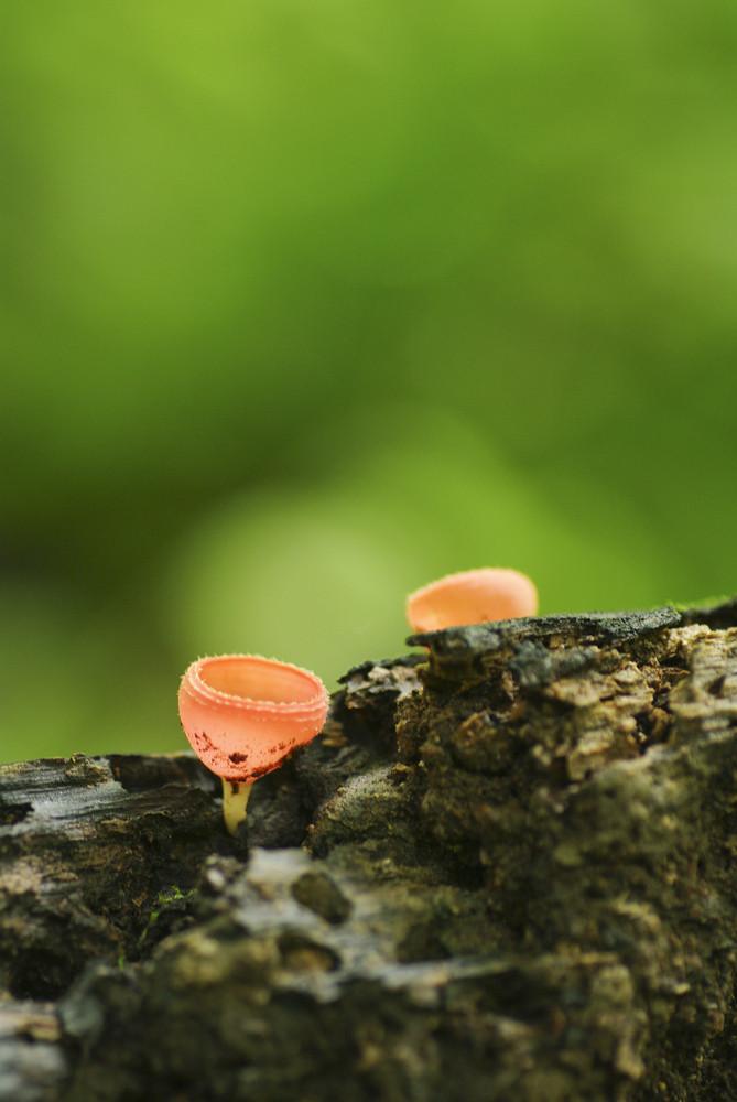 mushroom Tarzetta Rosea Dennis