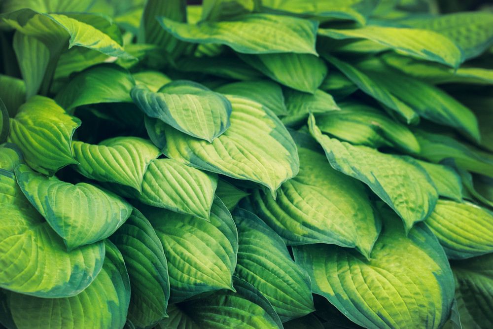 Natural green leaves background