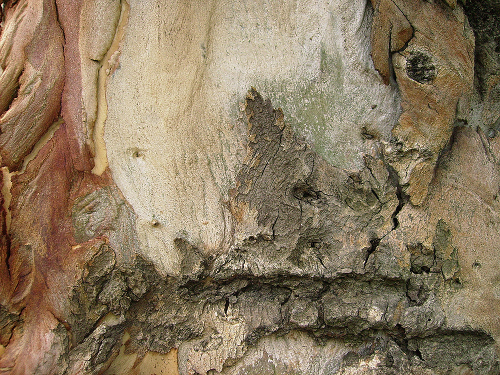 Oak_tree_bark