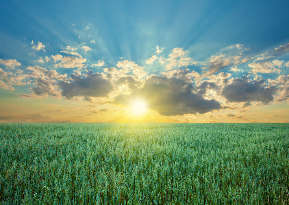 Oat field with blue sky with sun and clouds