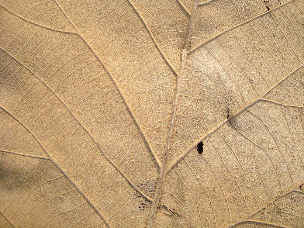 Old Leaf Texture