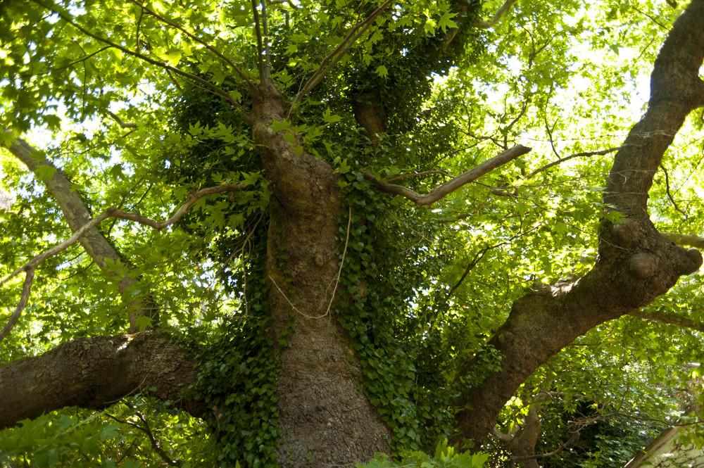 Old Tree On Samos