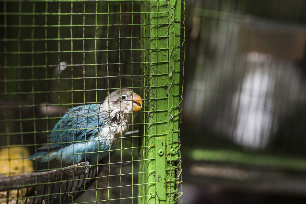 Parrot in green cage