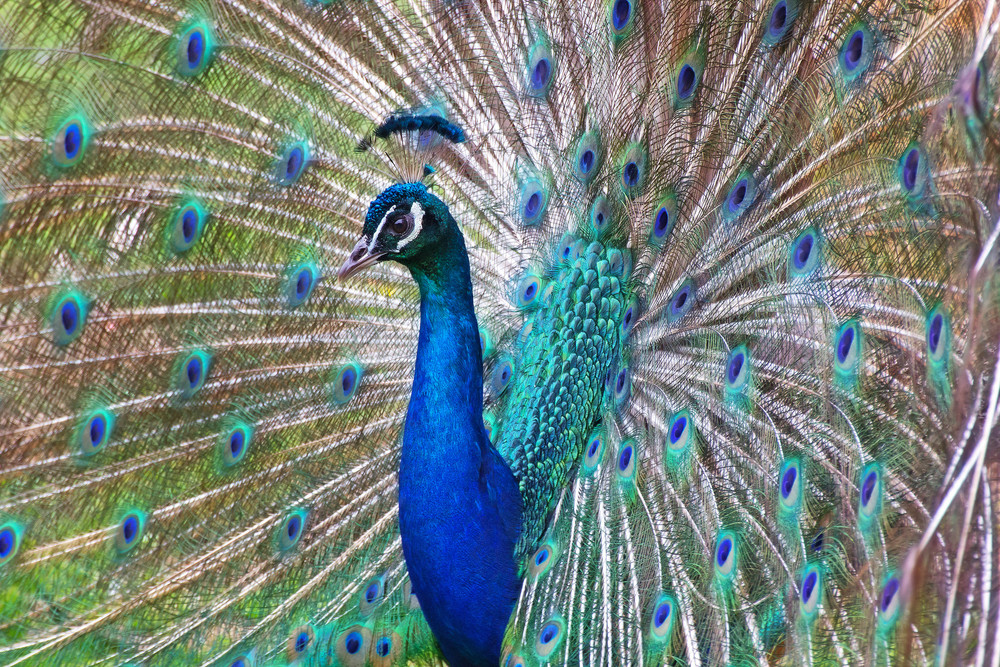 Peacock Picture