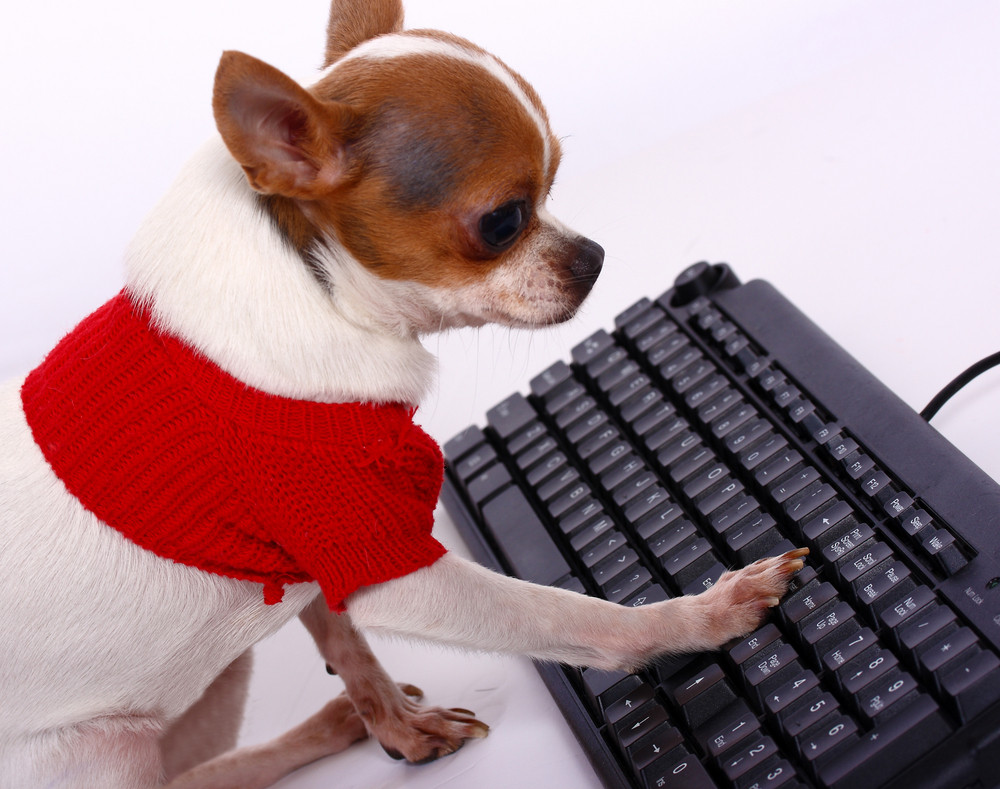 Pet Chihuahua Contacting His Friends On The Internet