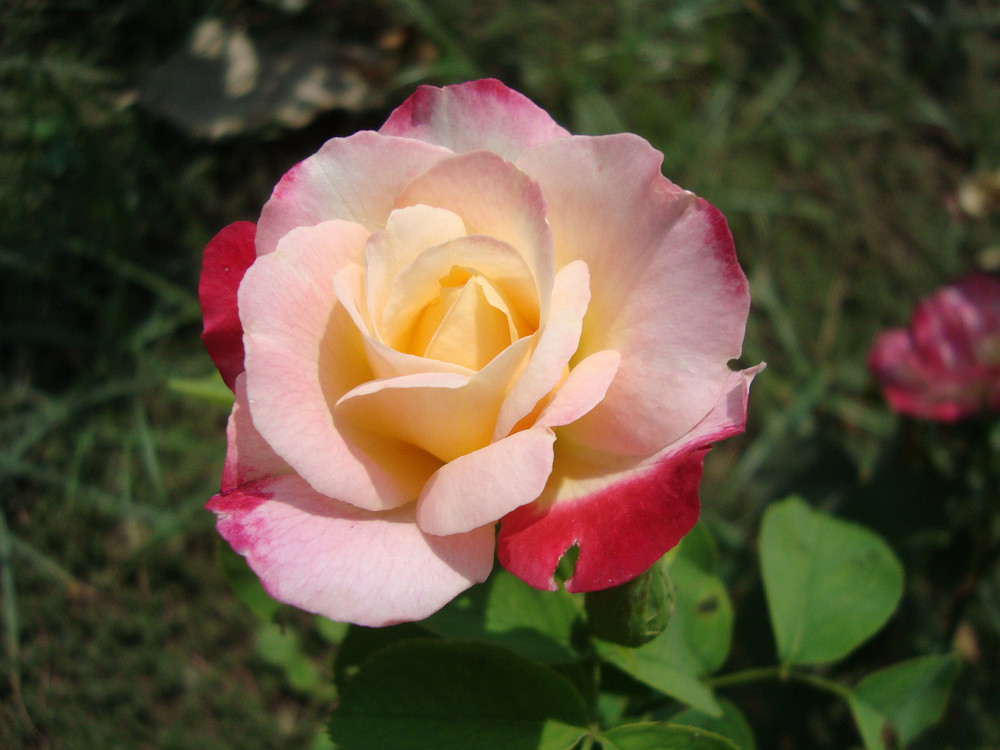 Photo Of Rose Flower Background