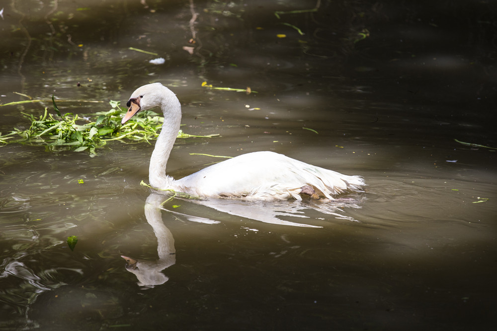 Picture of White swan at asian zoo