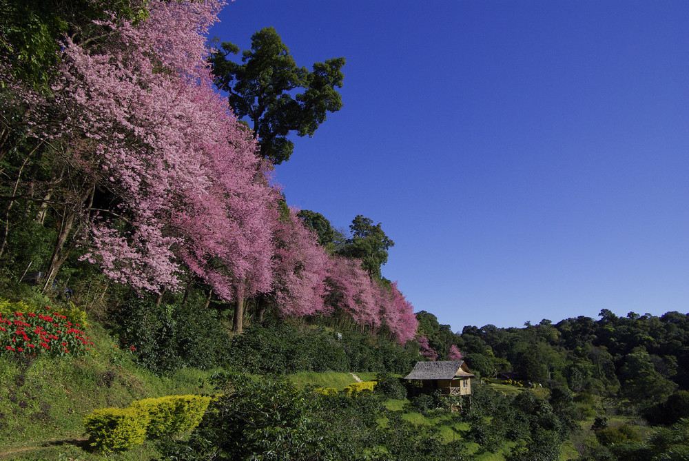 pink cherry blossom with blue sky landscape view