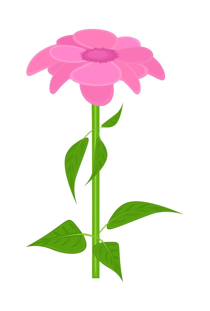 Pink Daisy Plant