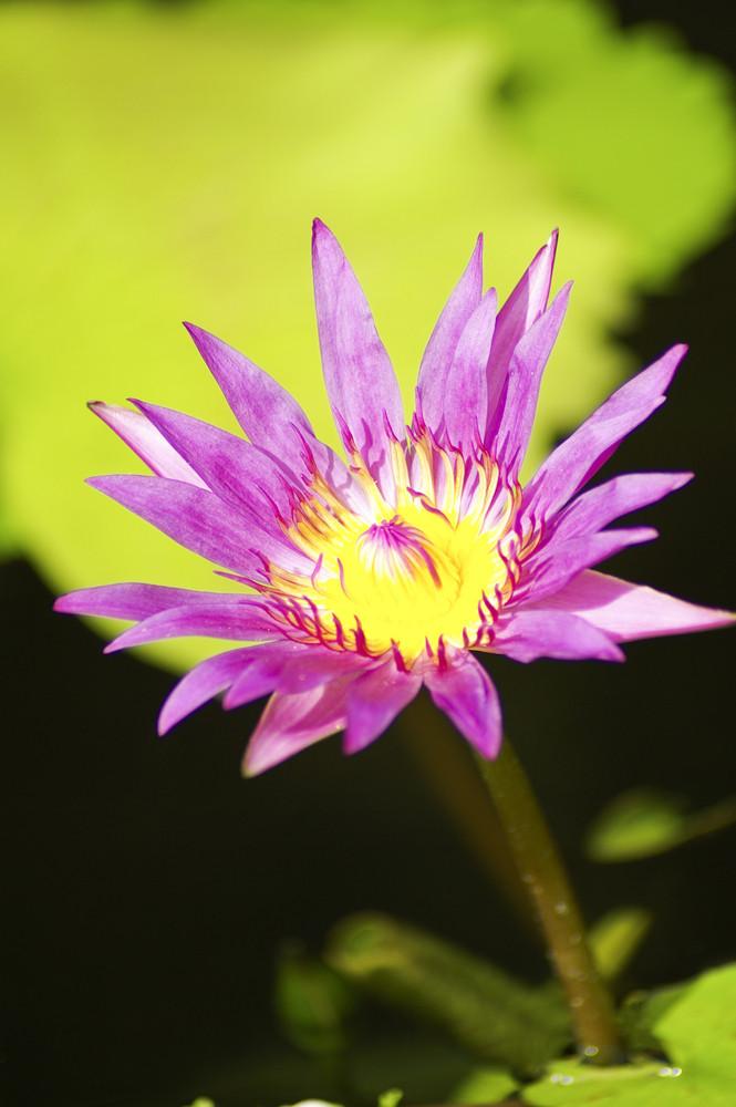 Pink lotus close up macro shot