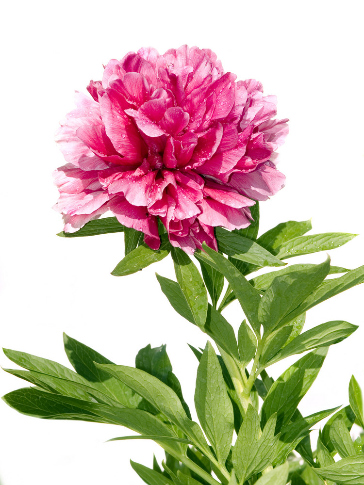 Pink Peony With Water Drops Isolated On White