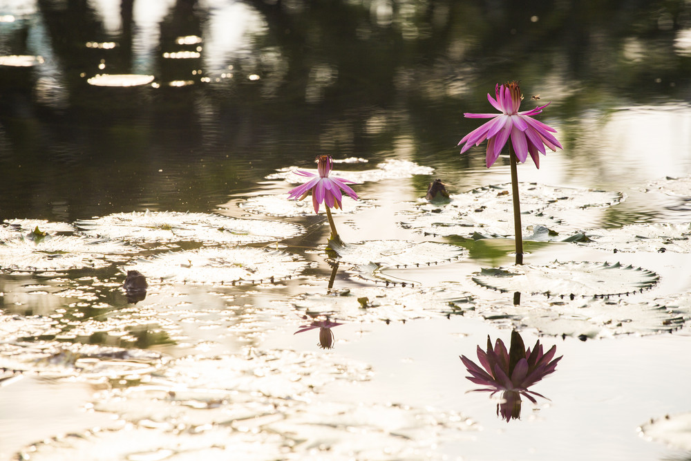 Pink water lily with morning light