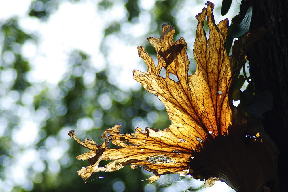Platycerium coronarium fern