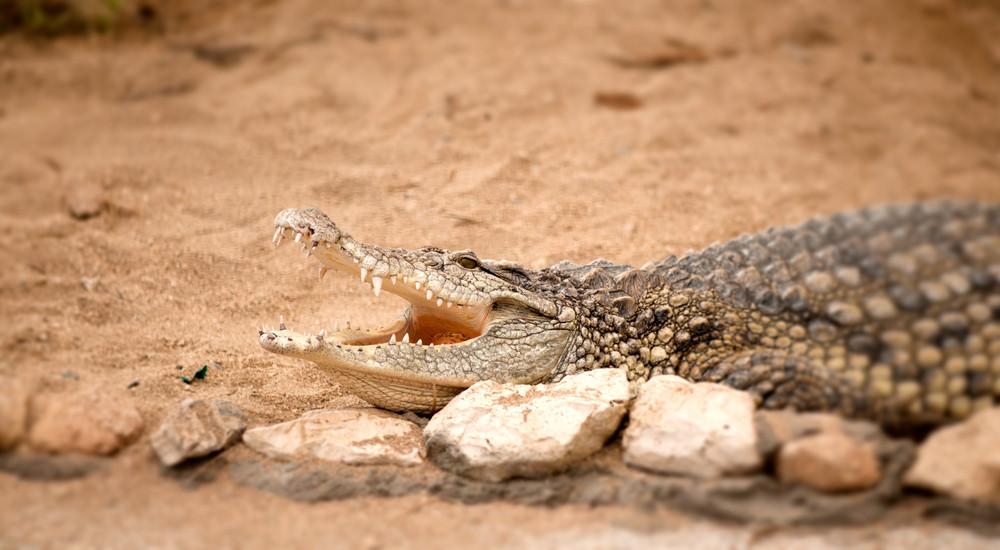 Portrait Of Crocodile