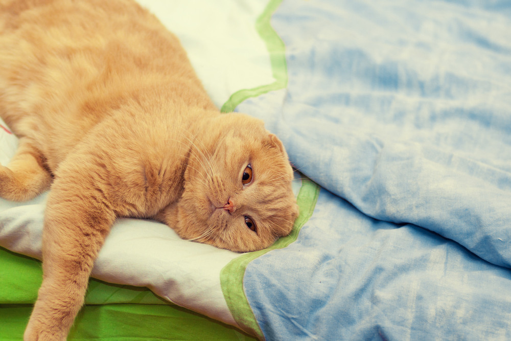 Portrait of scottish fold cat relaxing on a blanket