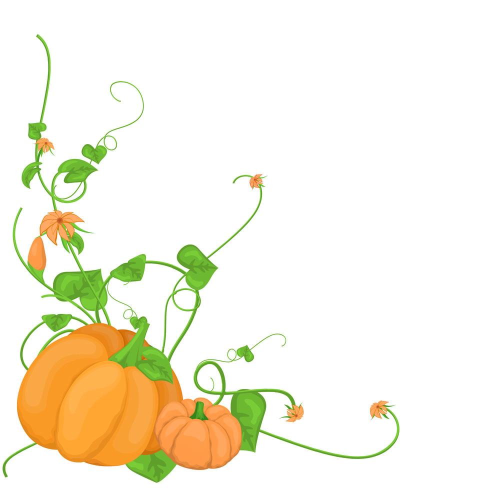Pumpkin Vegetable Vine Vector
