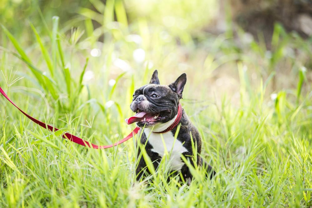 Puppy french bulldog on green field backyard.