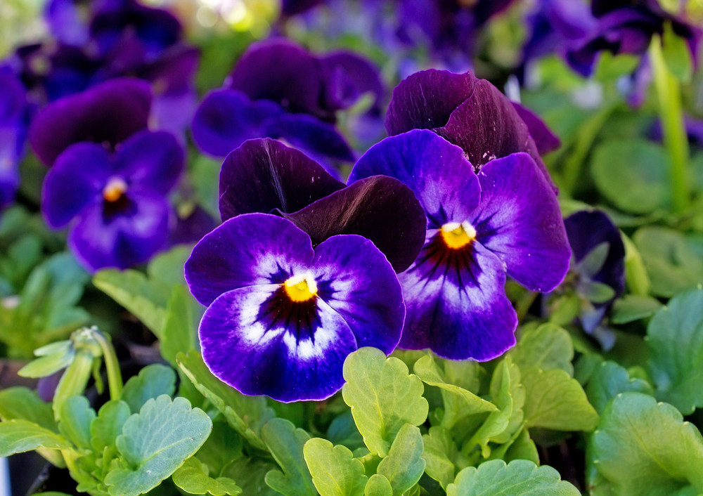 Purple poppy flowers 197 royalty free stock image storyblocks images purple poppy flowers 197 mightylinksfo