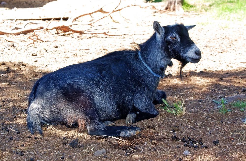 Pygmy Goat Lying Down