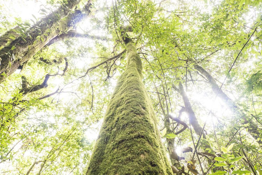 Rain forest tree at Doi Inthanon. Chiang Mai, Thailand.
