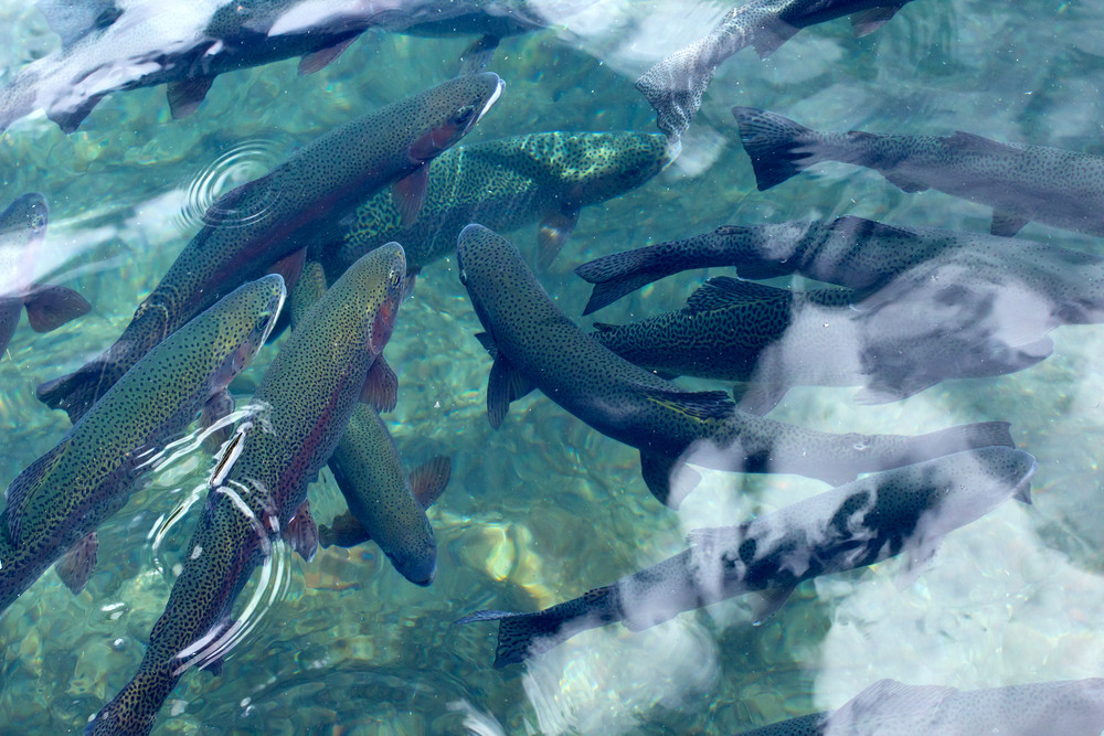 Rainbow Trout Fishes