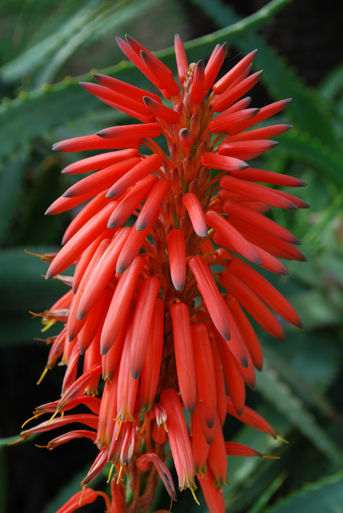 Red Aloe Ciliaris Flower