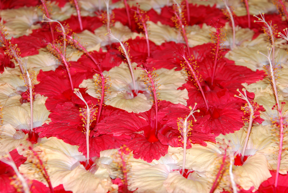 Red And Yellow Hibiscus Pistilles Flowers